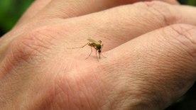 Zancudo-dengue-chikungunya-635